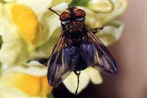 Phasia crassipennis